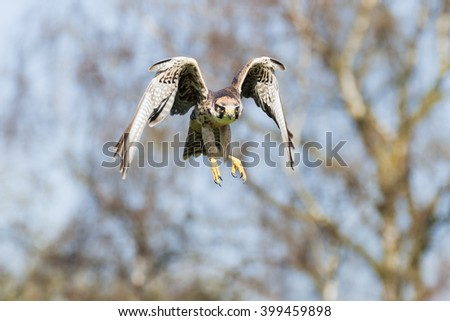 Lanner Falcon in the woods. A lanner falcon rises from some woodland. - stock photo