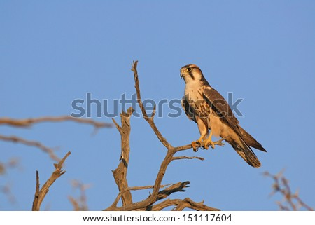 Lanner falcon perched - stock photo