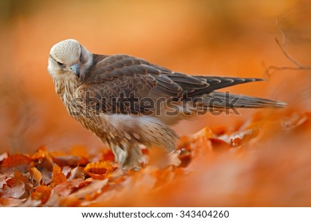 Lanner Falcon, rare bird of prey  with orange leaves branch in autumn forest, Spain  - stock photo
