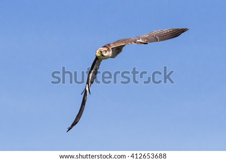 Lanner Falcon sweeping through the sky. An impressive lanner falcon forms a diagonal shape as it dashes through a clear blue sky. - stock photo