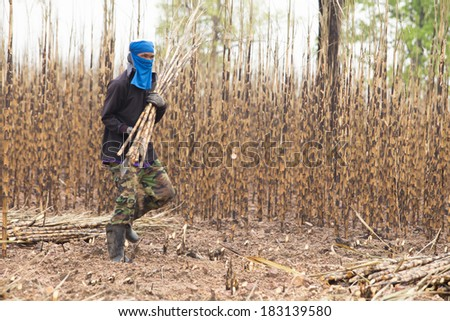 Lansak,thailand - March 17 2014 : The workers are harvesting the sugarcane crop, traditional way of agriculture on March 17, 2014 in Uthai Thani province, Thailand