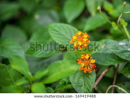 Lantana camara flower in the forest1 - stock photo