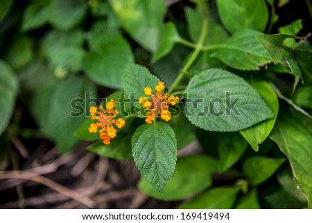 Lantana camara flower in the forest2 - stock photo