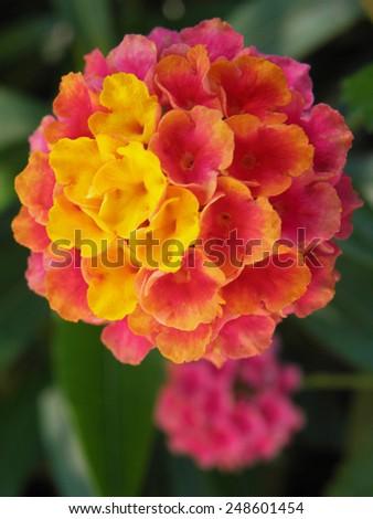 Lantana flower in the garden - stock photo