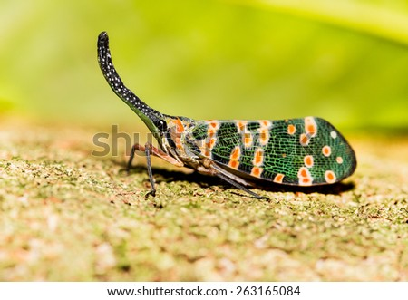 Lanternfly (Pyrops spinolae), the insect on tree - stock photo