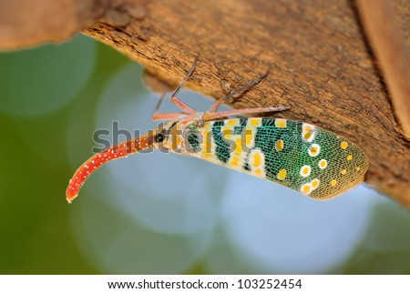 lanternfly, the insect on the lychee tree, Pyrops candellaria - stock photo