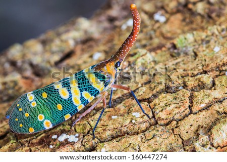 Lanternfly, the insect on tree fruits. (FULGORID PLANTHOPPERS) Pyrops candelaria or lantern Fly,sometime we call trunk cicada or trunk butterfly  - stock photo