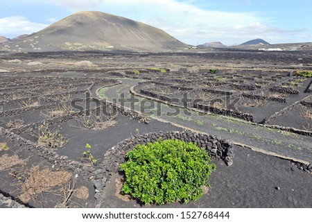 Lanzarote, Canary islands, Spain. A vineyard with vines growing in black sand, in sectors with walls built of volcanic rock. - stock photo