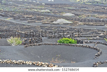 Lanzarote, Canary islands, Spain. A vineyard with vines growing in black sand, in sectors with walls built of volcanic rock.