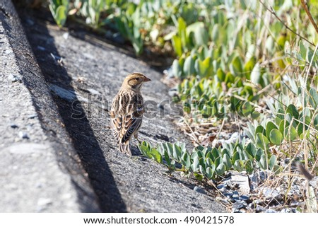 Lapland Longspur, at Iona park vancouver BC Canada,