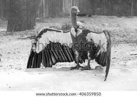 Lappet-faced vulture (Torgos tracheliotus), dhaka,bangladesh - stock photo