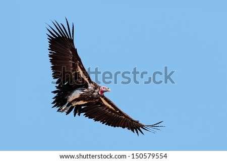 Lappet-faced vulture (Torgos tracheliotus) in flight, South Africa