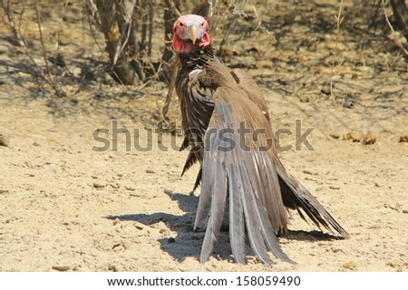 Lappet faced Vulture - Wild Bird Background from Africa - The Grim Reaper from the Animal Kingdom.  Scavenger Supreme - stock photo