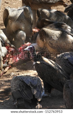 Lappetfaced and Hooded Vultures feeding on a kill near Victoria Falls in Zimbabwe