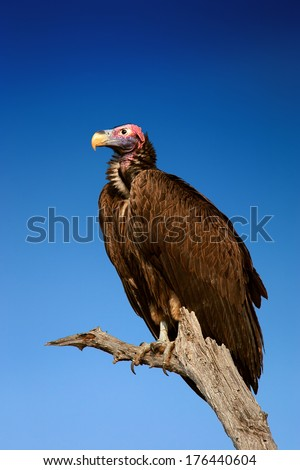 Lappetfaced Vulture against blue sky (Torgos tracheliotus)  South Africa - stock photo