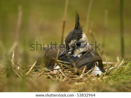 Lapwing - (Vanellus vanellus) - stock photo