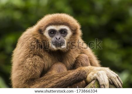 Lar Gibbon - stock photo