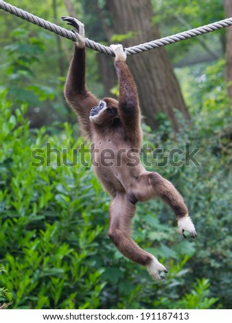 Lar Gibbon, or a white handed gibbon (Hylobates lar) plays on a rope in a zoo