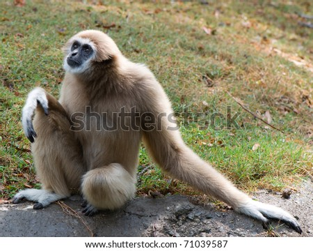lar gibbon (white-handed gibbon) is sitting - stock photo
