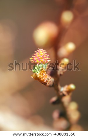 Larch branch flowers - stock photo