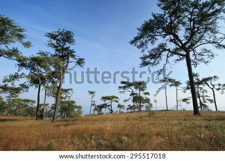 Larch forest on top of high mountain. - stock photo