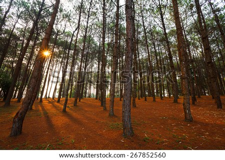 larch forest with sunlight and shadows at sunrise - stock photo