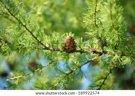 Larch tree branch with cones