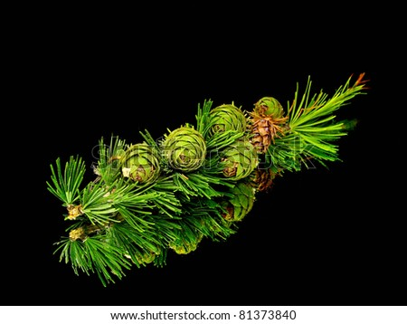 larch tree branch with young cones on a black background with water drop - stock photo