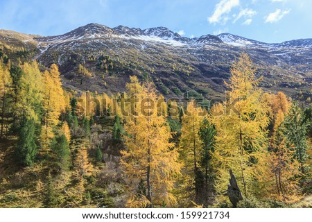 Larch tree forest in the Alp landscape