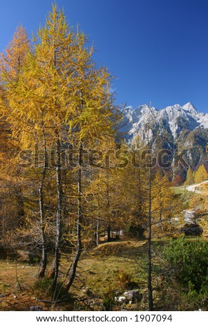 Larch tree in autumn