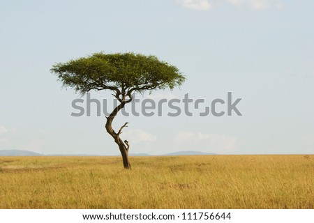 Large Acacia tree in the open savanna plains of Masai Mara,Kenya - stock photo