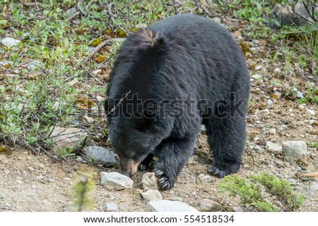 large adult black bear in the forest of Banff Canada