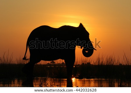 Large adult elephant playing in river at sunset with reflection in water, Botswana