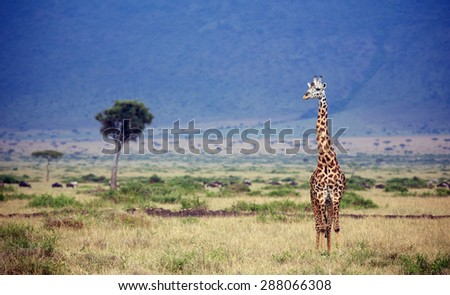 Large adult Giraffe in Kenya isolated against a blue mountain