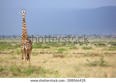 Large adult Giraffe in Kenya isolated against a blue mountain looking at the camera - stock photo