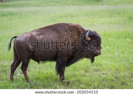 large adult male american buffalo or bison standing on the green prairie grass