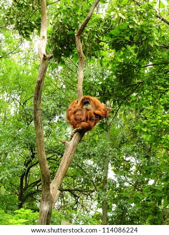 Large adult Orangutan perched high among the trees - stock photo