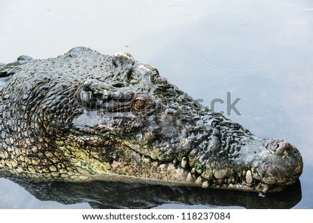Large adult salt water crocodile in calm water close up, taken on a cloudy day - stock photo