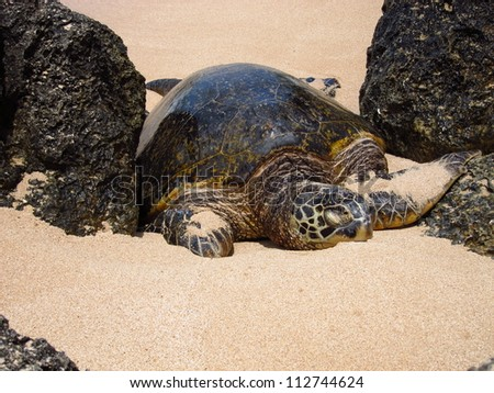 Large adult sea turtle between two volcanic rocks on the North Shore ...