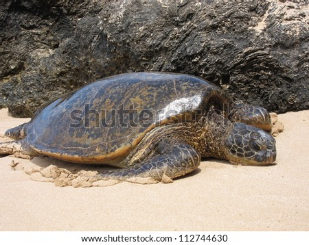 Large adult sea turtle on the North Shore of Hawaii - stock photo