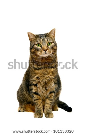 Large adult tabby cat, isolated on white - stock photo