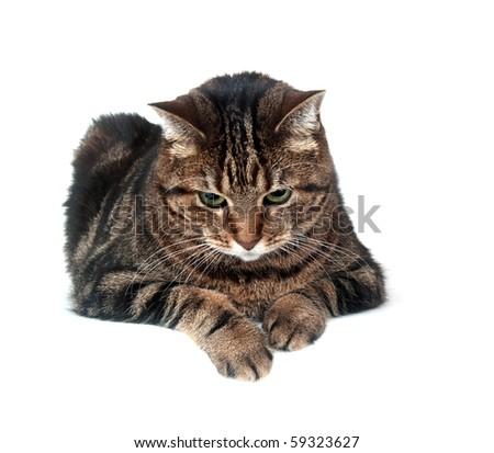 Large adult tabby cat sitting on white background - stock photo