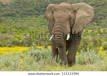 Large africal elephant eating in a field of yellow flowers - stock photo