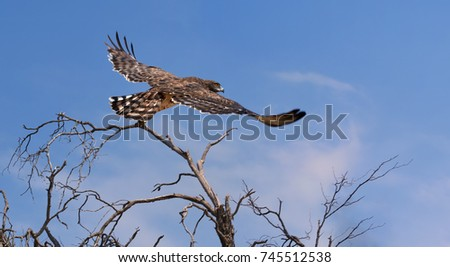 Large african bird of prey, Black-chested snake eagle, Circaetus pectoralis, eagle with dark brown head and chest, flying from treetop against blue sky in Kalahari desert, Botswana.