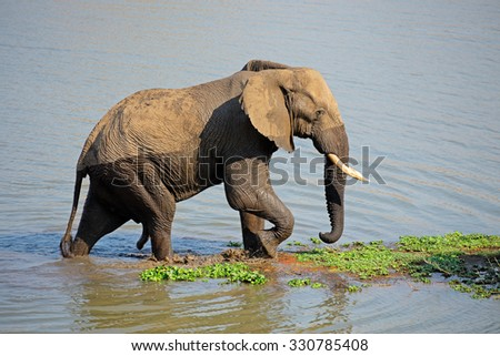 Large African bull elephant (Loxodonta africana) walking in a river, Kruger National Park, South Africa  - stock photo