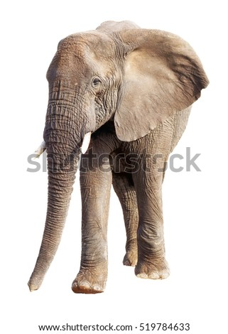 Large African elephant isolated on white