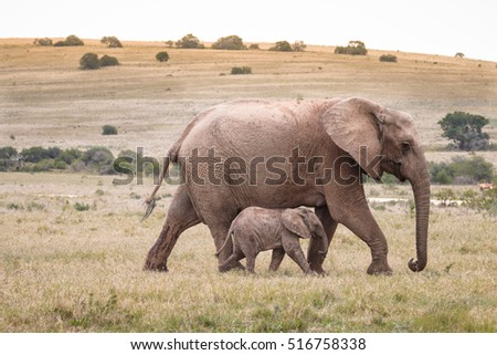 Large African elephant (Loxdonta) walking with her infant calf in Addo Elephant Park, South Africa