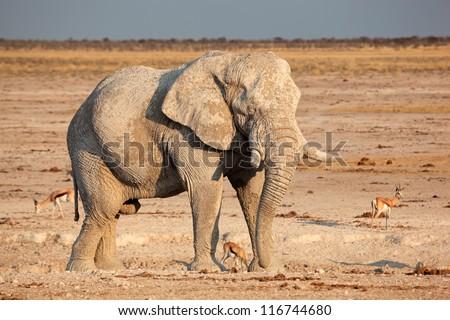 Large African elephant (Loxodonta africana) bull covered in mud, Etosha National Park, Namibia, southern Africa - stock photo