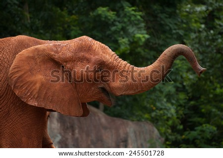 Large African elephant (Loxodonta africana) covered in red dust - stock photo