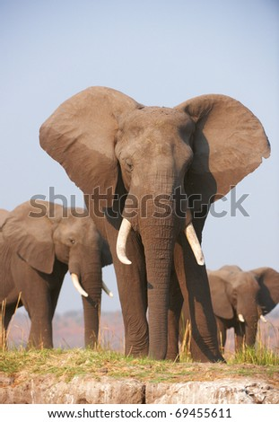Large African elephants (Loxodonta Africana) eating in savanna in Botswana